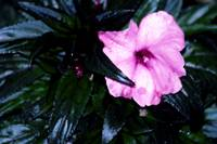 Pink Flower And Dark Green Leaves