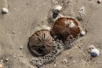 Sand Dollar Revealed Outside And In