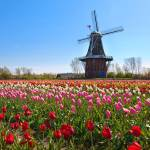 """Windmill and Tulips"" by sterk"