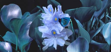 Blue Moth and Hyacinth