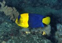 Manado's Blue Angelfish
