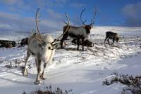 Reindeer in Winter