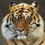 """Siberian Tiger Portrait"" by digitallightcreations"