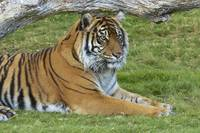 Siberian Tiger Relaxing