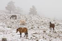 Rocky Mountain Horses Snow and Fog