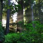 """Sunlight In The Redwoods"" by pbk"