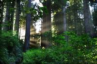 Sunlight In The Redwoods