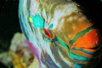 SmileoftheParrotfish
