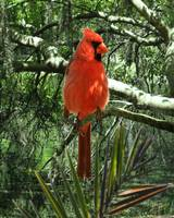 Cardinal at Brooker Creek
