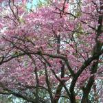 """Full Cherry Blossom Twisted Growth"" by RenfrewArt"