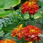 """""""Spring Shower Marigolds"""" by RenfrewArt"""