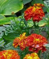 Spring Shower Marigolds