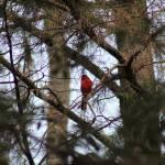 """Cardinal"" by DOrtiz_687"