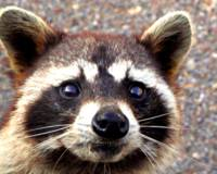 A Raccoon