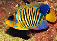 Peacock Angelfish