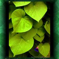 Morning Glory Leaves Art Prints & Posters by Sandra Gould Ford