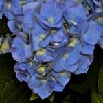 """""""Blue Hydrangea"""" by memoriesoflove"""