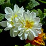 """White Dahlia on Green"" by memoriesoflove"