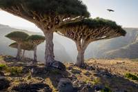 Dragon-Blood-Trees-Socotra