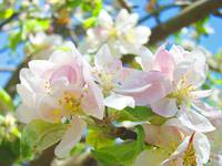Spring Apple Blossoms Flowers Art Prints Trees
