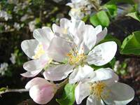Apple Blossoms Flowers Art Prints Spring Floral