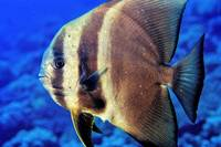 Batfish Close