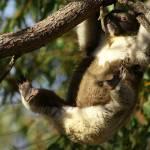 """Koala"" by MimiAtherton"