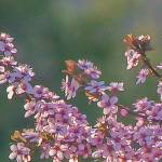 """Plum Blossums"" by pixelcene"