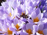 Crocus Flower Honey bee art prints Spring