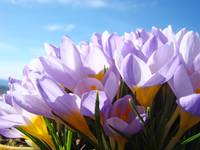 Crocus Flowers art prints Blue Sky Purple Flowers