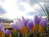 Crocus Flowers Hillside art prints Purple Floral