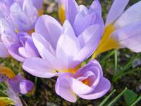 Crocus Flowers Spring Art Prints Lavender Yellow