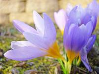 Spring Purple Lavender CROCUS Flowers Garden Art