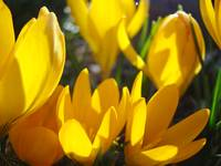 Glowing Yellow Crocus Flowers Garden Spring