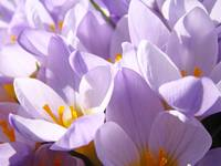 Crocus Spring Flowers Glowing Floral Art Prints