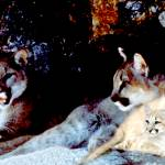 """Two mountain lions with their three cubs"" by bandtdigitaldesigns"
