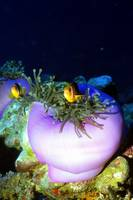 Purple Anemones and Clownfish