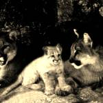 """Two mountain lions and a cub"" by bandtdigitaldesigns"
