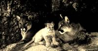 Two mountain lions and a cub