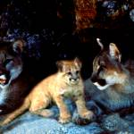 """Two mountain lions and their cub"" by bandtdigitaldesigns"