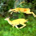 """Two white tailed deer running"" by bandtdigitaldesigns"