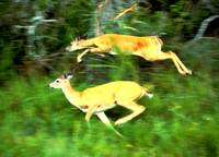 Two white tailed deer running