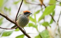 Scrub Tanager Portrait
