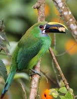 Emerald Toucanet Feeding
