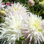 """Dahlia White Flowers art prints floral gardens"" by BasleeTroutman"