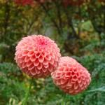 """""""Dahlia Pink Orange Dahlias Flowers art prints Flor"""" by BasleeTroutman"""