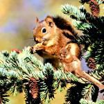 """Red squirrels eating"" by bandtdigitaldesigns"