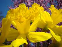 Daffodils Flowers Glowing Spring Floral nature art