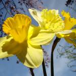 """Blue Twilight Sky Glowing Daffodil Flowers Spring"" by BasleeTroutman"