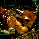 """A baby fawn with a butterfly on their nose"" by bandtdigitaldesigns"